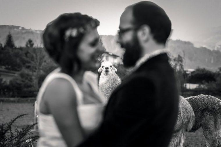 ПОТРЕС! Тези животни провалиха сватбените снимки на тези 11 сватбари.. 42
