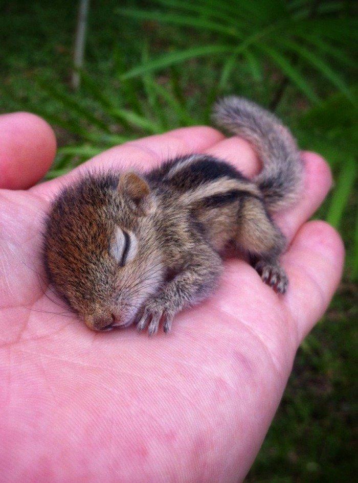 Тези животни са толкова малки, че могат да се поберат в дланта ви.. По-сладко нещо виждали ли сте? 33