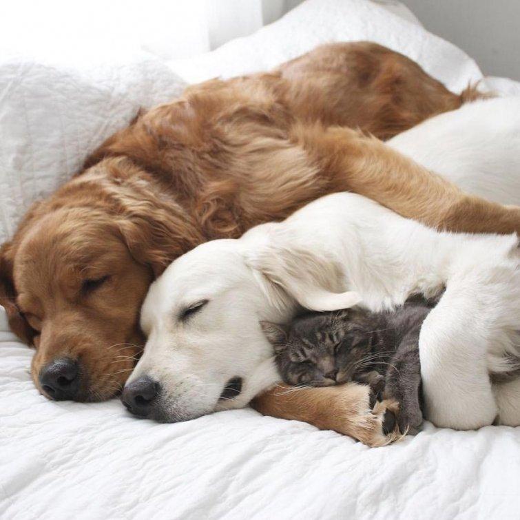 Няма да повярваш, но тези кучета и това коте живеят в перфектен синхрон.. Вижте историята им! 59