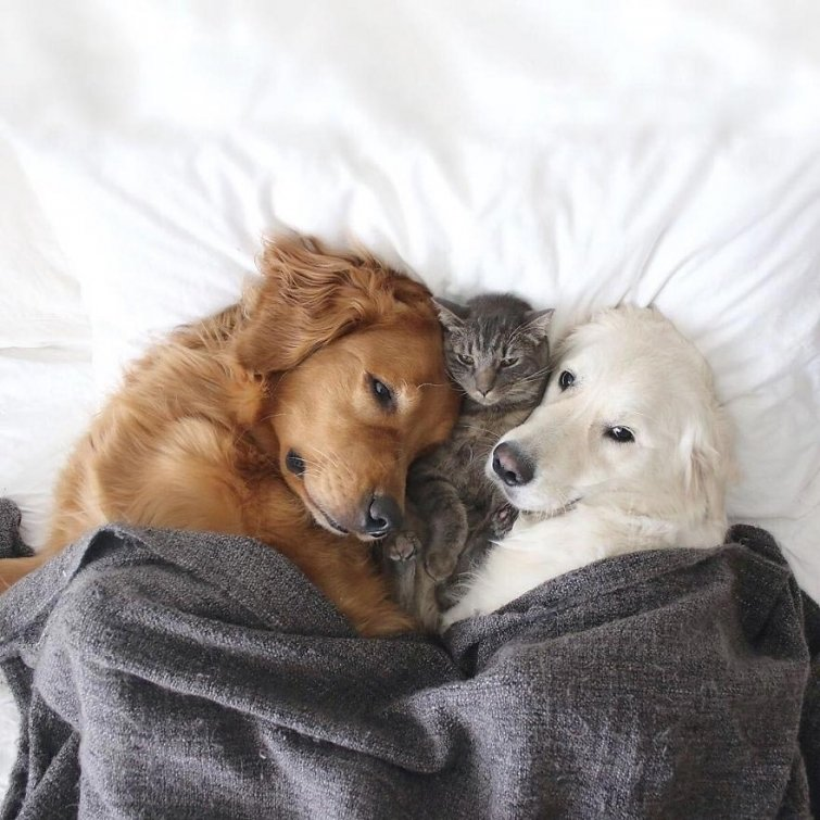 Няма да повярваш, но тези кучета и това коте живеят в перфектен синхрон.. Вижте историята им! 54