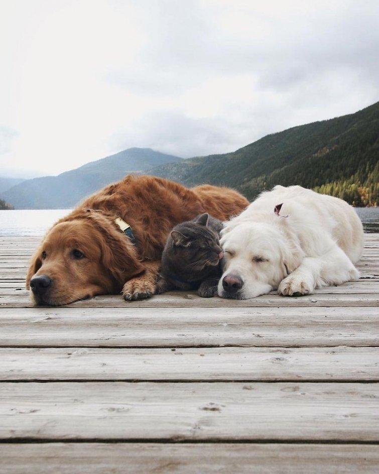 Няма да повярваш, но тези кучета и това коте живеят в перфектен синхрон.. Вижте историята им! 7