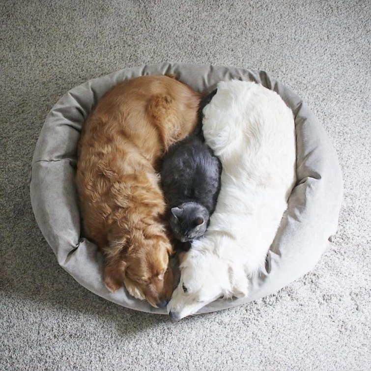 Няма да повярваш, но тези кучета и това коте живеят в перфектен синхрон.. Вижте историята им! 15