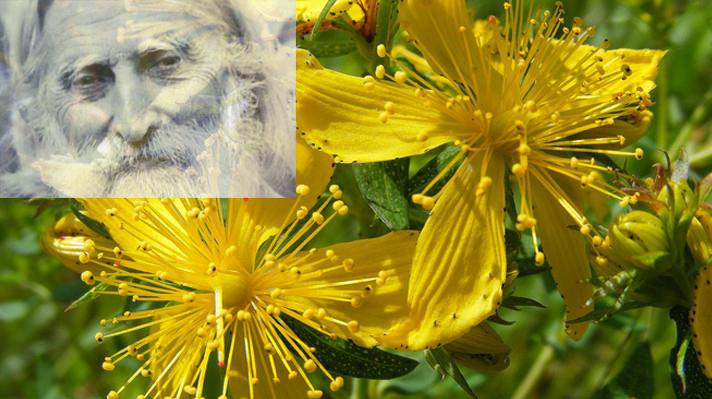 Жълт кантарион в зехтин: Легендарната рецепта на Петър Дънов 10
