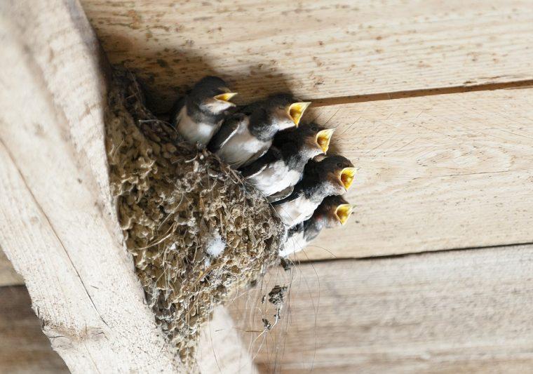 Ето какво значи, ако лястовица свие гнездо в дома ви и други птичи поверия! 33