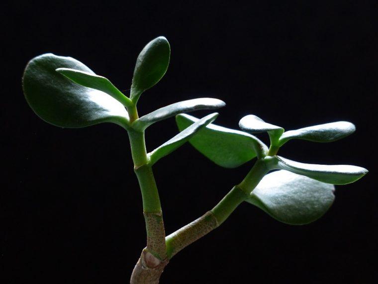 Дървото на парите се оказа дървото на здравето - помага при ангина, язва, цистит, херпес! 33