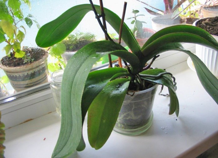 Домашна рецепта за цъфтеж на орхидеи само за 14 дни 55