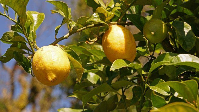 Лесен начин да си отгледате лимон от костилка - Всеки може у дома 10