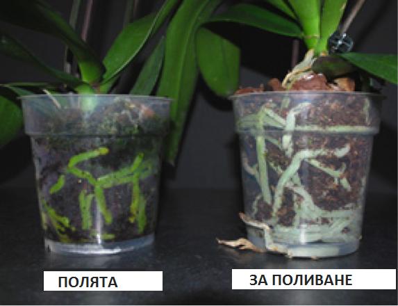 Безценни ми съвети към всички онези, които имат орхидеи 59