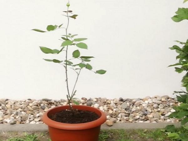 Захванете си роза с картоф в саксия, и ще имате красиви цветя през цялата година (ВИДЕО) 37