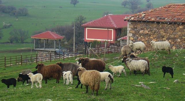Как Бети и Ники с четири деца развъждат над 700 крави из Родопите 17