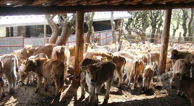 Как Бети и Ники с четири деца развъждат над 700 крави из Родопите 18