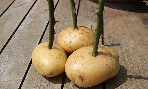 Захванете си роза с картоф в саксия, и ще имате красиви цветя през цялата година (ВИДЕО) 33