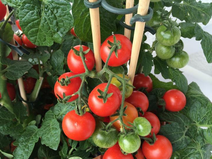 За едно лято ги подхранвам така 3 пъти: Доматите се превиват от плод чак до октомври 35