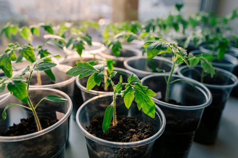 За едно лято ги подхранвам така 3 пъти: Доматите се превиват от плод чак до октомври 34