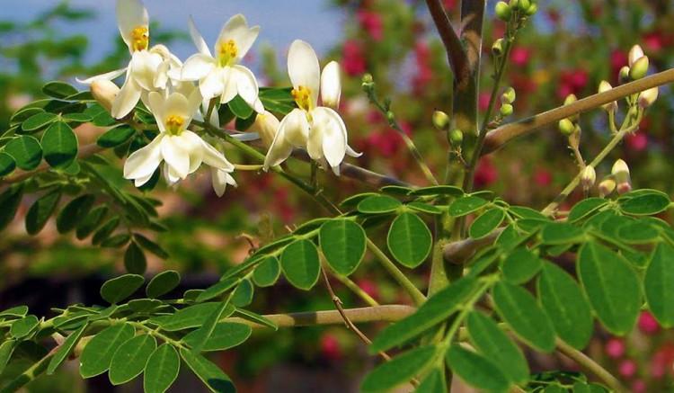 Дървото известно от древността заради чудодейните си ползи за здравето 8