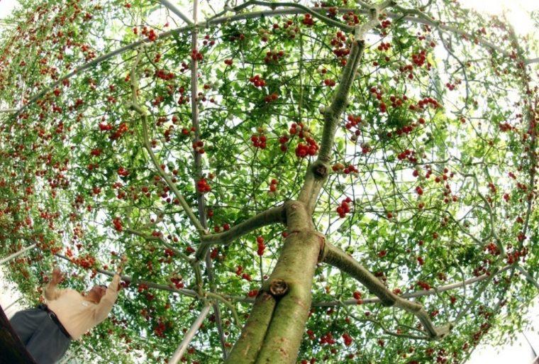 Дървото чудо, което ражда по 14 000 домата, или 1,5 тона 56