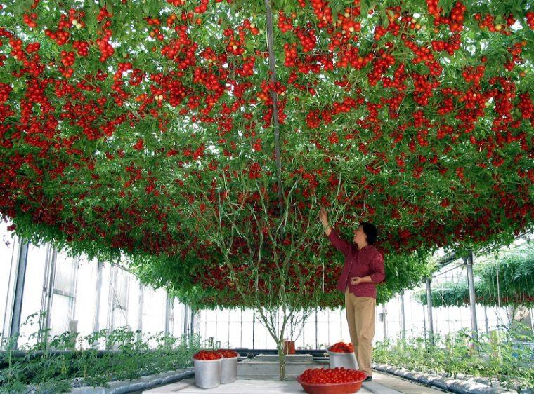 Дървото чудо, което ражда по 14 000 домата, или 1,5 тона 57