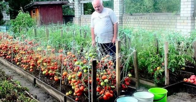 Подхранвам доматите по този начин, а те се плодят чак до октомври 54