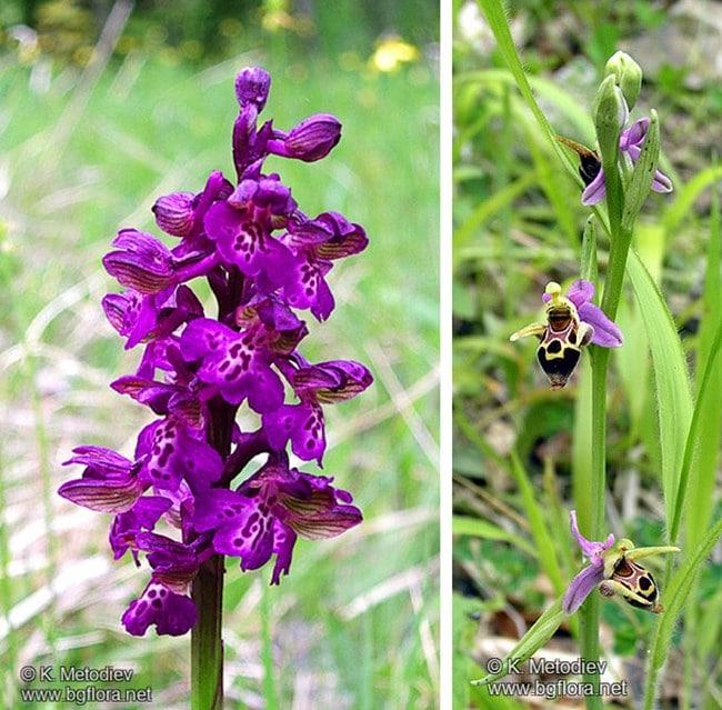 В България се срещат около 60 вида диворастящи орхидеи, 19 от които са лечебни 58