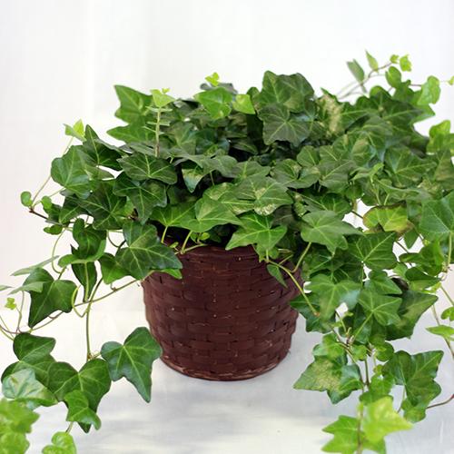 Растенията за дома, които премахват влагата и мухъла 64