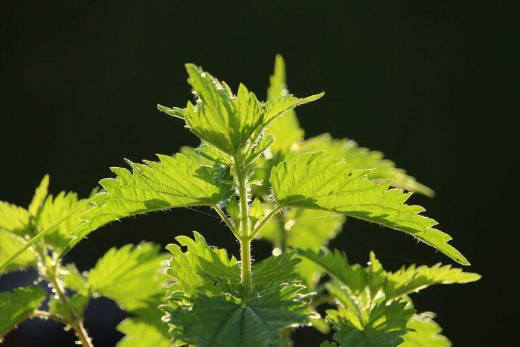 Бодлива зелена трева лекува почти всичко 54