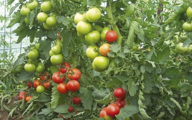 Българин фурор! Измисли метод за отглеждане на домати без пръскане с отрови 56