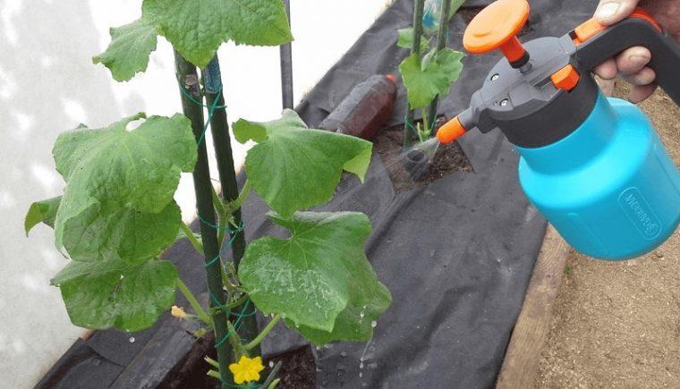 4 народни рецепти за това как да спасим листата на краставичките 60