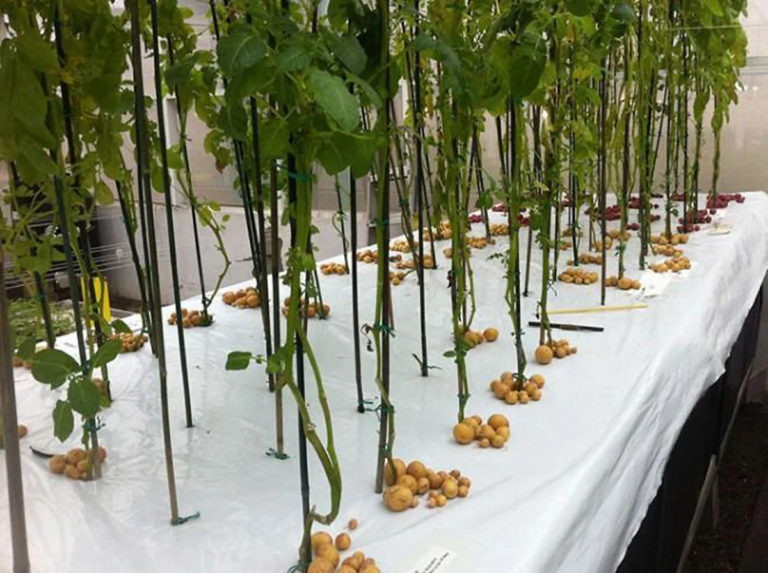 Уникални и интересни факти за картофите, които малцина знаят 56