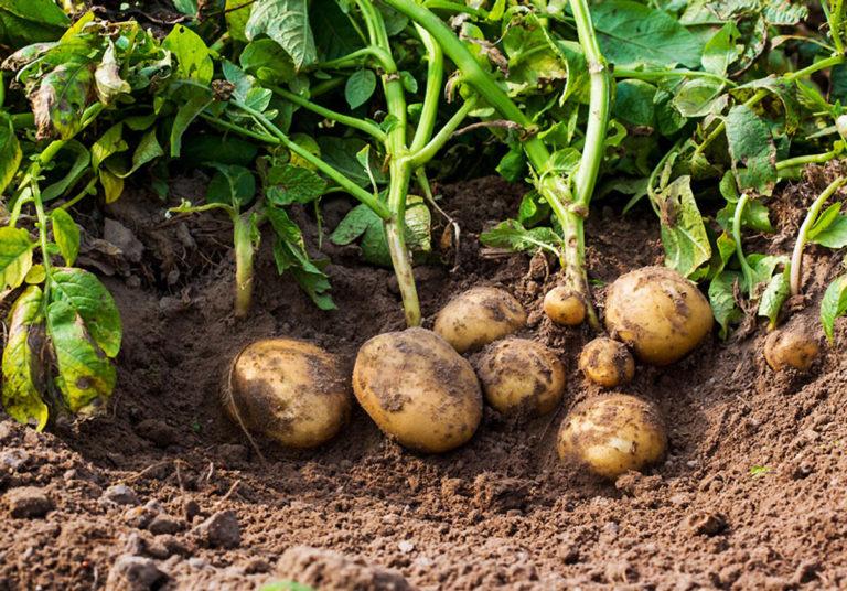 Уникални и интересни факти за картофите, които малцина знаят 60